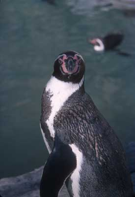 Humboldt Penguin | Saint Louis Zoo