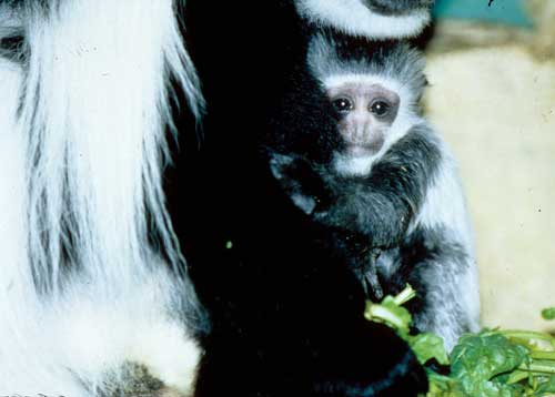Black And White Colobus Monkey Black And White Colobus Baby