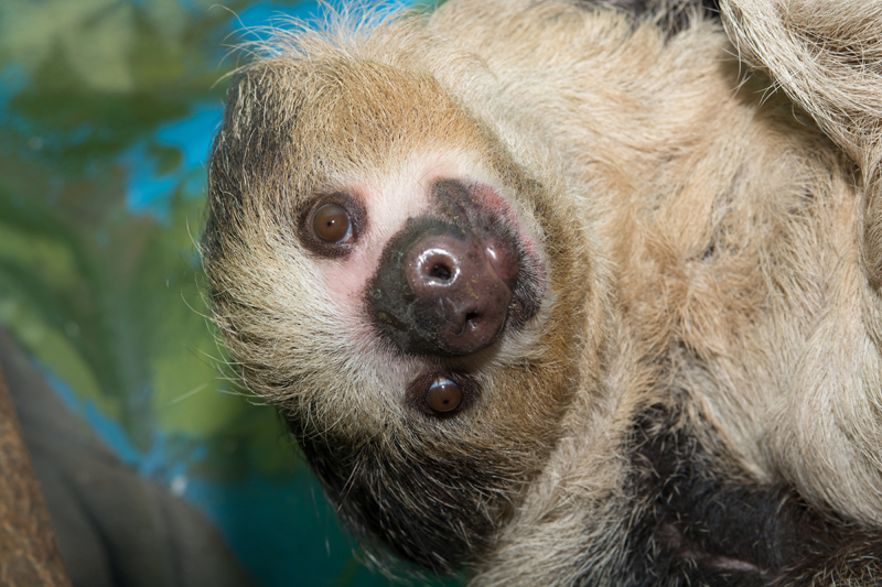 Linneu0027s Two Toed Sloth. Photo By Robin Winkelman/Saint Louis Zoo