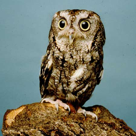 list of synonyms and antonyms of the word: screechowl