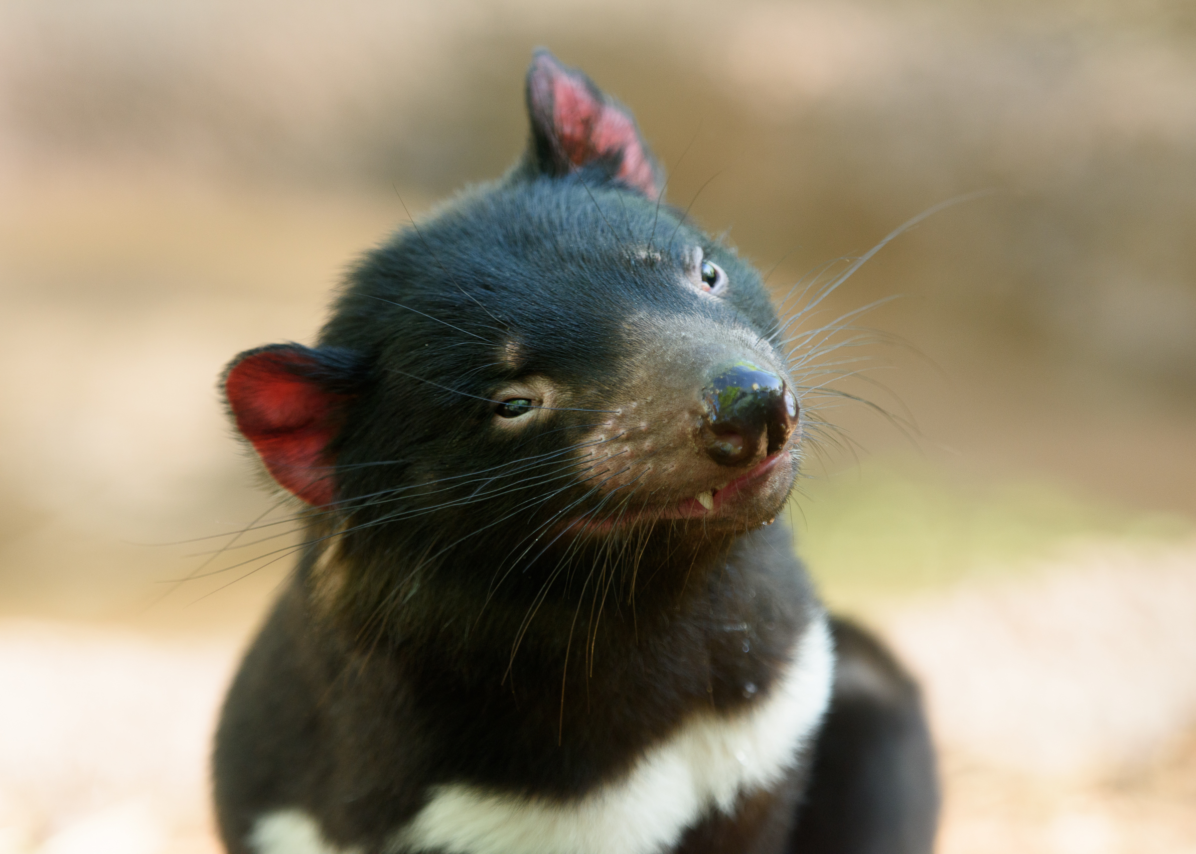 Tasmanian Devils on Baby Zoo Animals