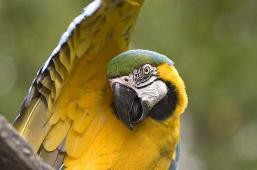 Blue-and-yellow Macaw | Saint Louis Zoo