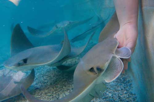 Stingrays At Caribbean Cove Presented By Mercy Kids