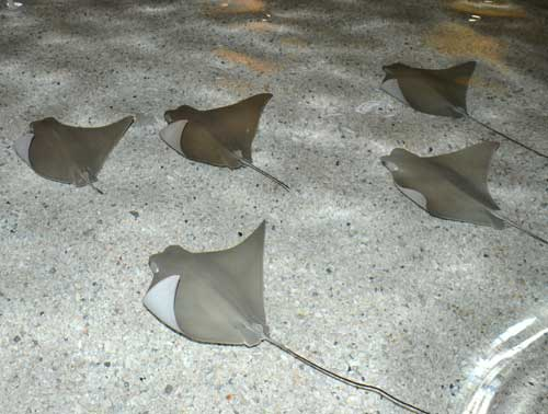 Stingrays at Caribbean Cove presented by Mercy Kids ...