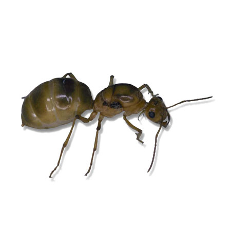 Honey pot ant