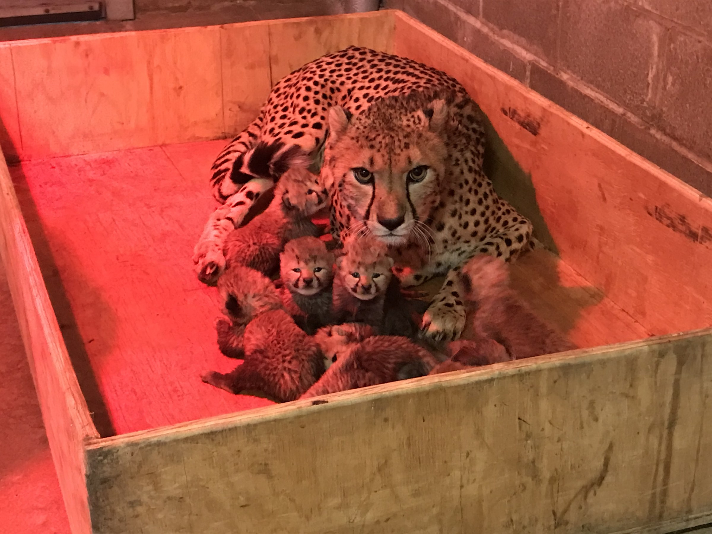 Meet Our New Cheetah Cubs Saint Louis Zoo