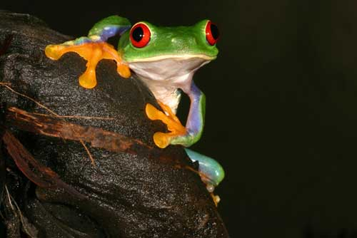 amphibians on our web site saint louis zoo
