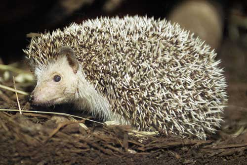 White bellied hedgehog