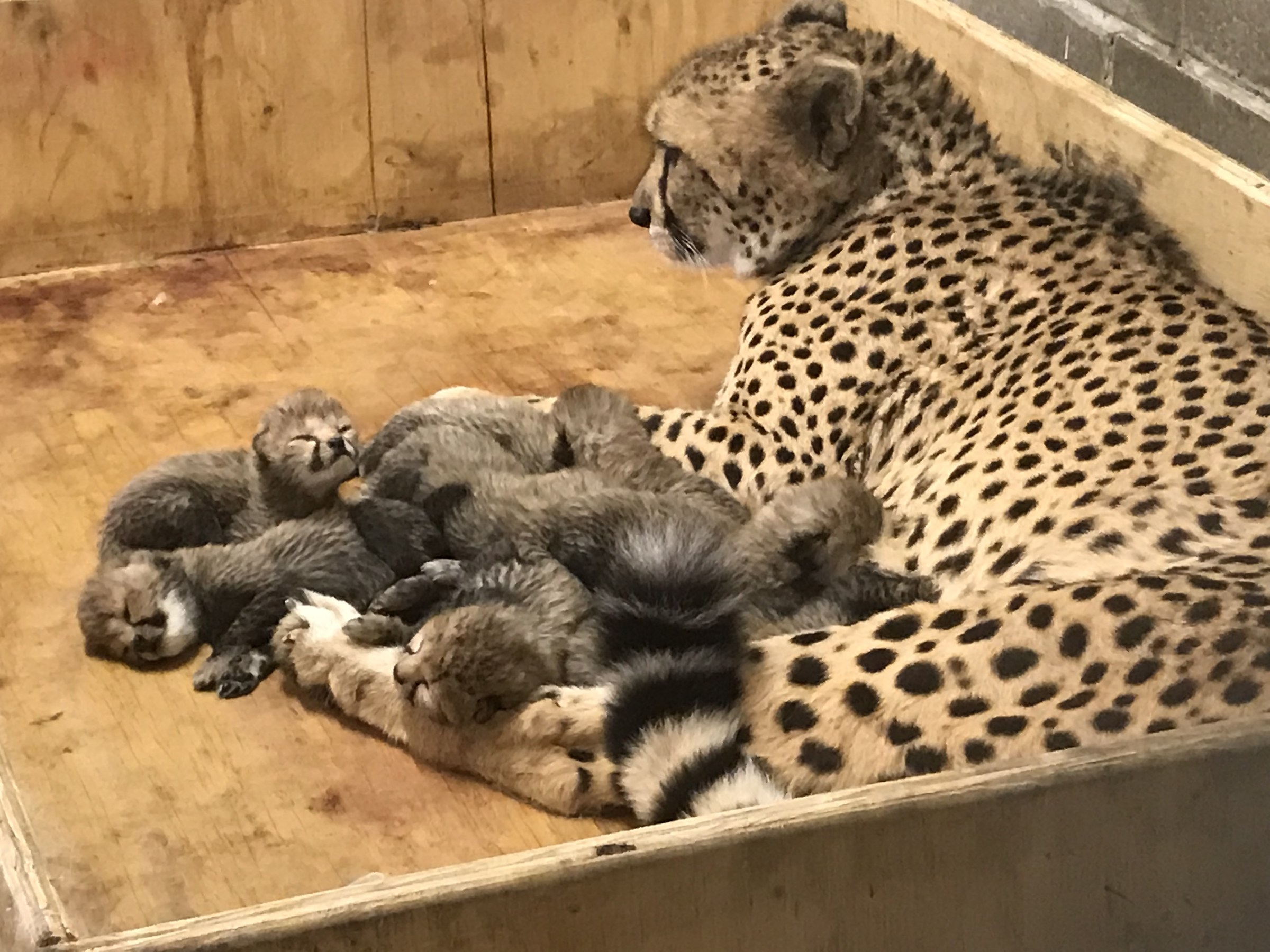 Which of the animals do the cubs give birth to