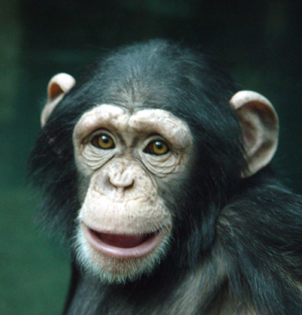 Chimpanzee | Saint Louis Zoo