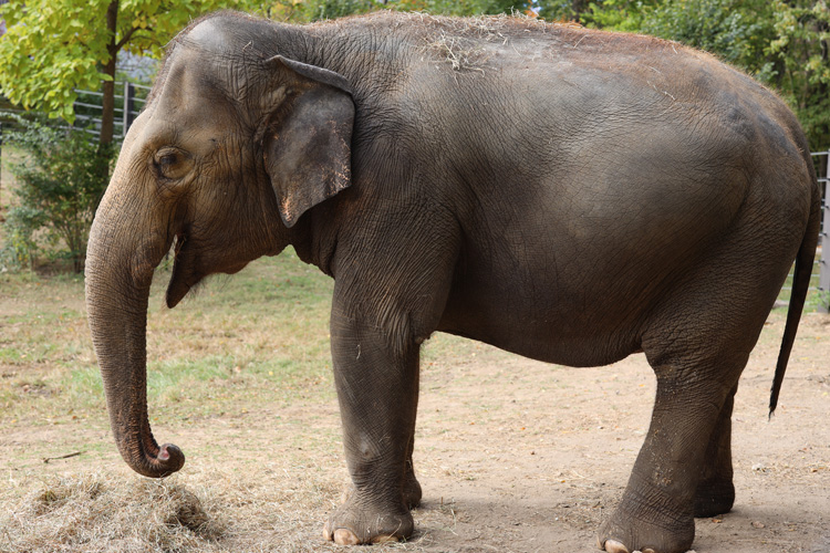 Female ♀ Asian elephant Rani at St Louis Zoo