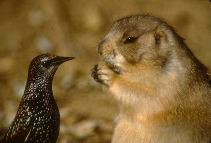 how to draw a black tailed prairie dog