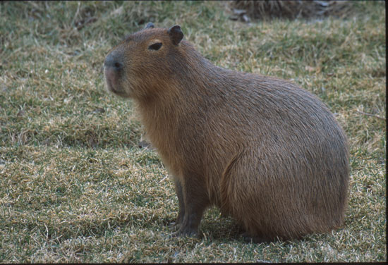 Capybara :: Saint Louis Zoo
