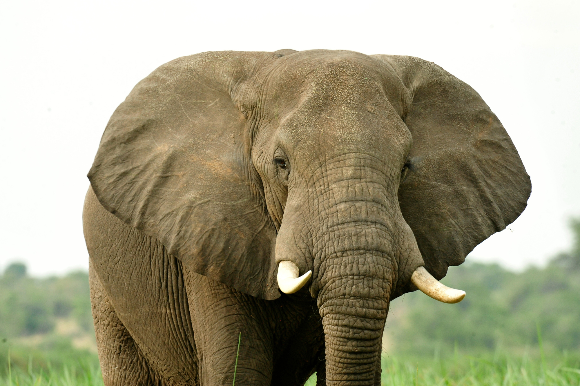 a discussion on saving elephants and ending ivory trafficking China is aiming to end its legal trade in ivory  many people began to talk about  regional extinction  its 2014 high, down to seven hundred and thirty dollars per  kilogram, according to a recent report by save the elephants.