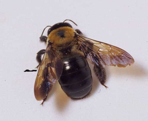 Carpenter bees - photo#7