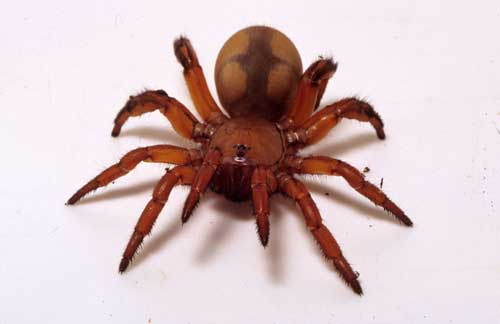 When the spider feels vibrations from an insect or other small invertebrate at the door it jumps out and grabs its victim. & Trapdoor Spider :: Saint Louis Zoo