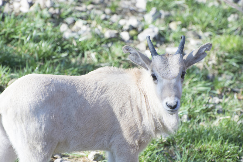 Recently born addax calf