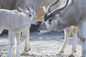 Addax calf and mom
