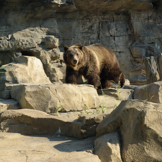 grizzly bear meibaum 5 10553