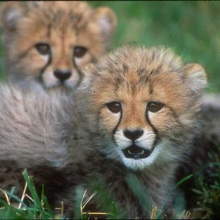 Two cheetah babies