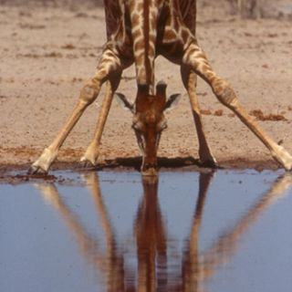 Reticulated giraffe at a watering hole in the wild