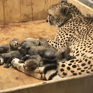 Cheetah cubs 2017