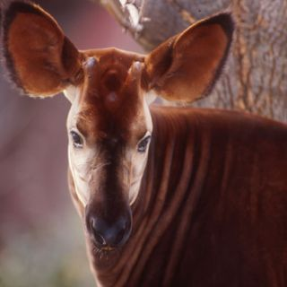 Okapi, up-close