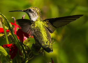 Ruby-throated hummingbird, Shutterstock