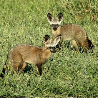 bat-eared foxes in wild