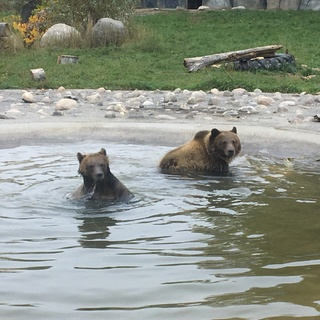 Grizzly bears Huck and Finley