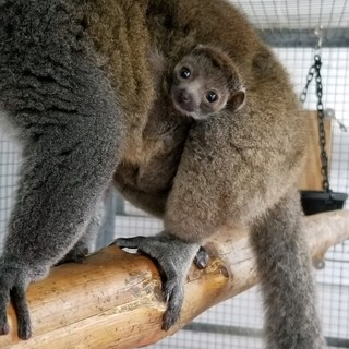 Mongoose lemur at 3 weeks old with mother