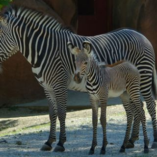Zebra baby and mother