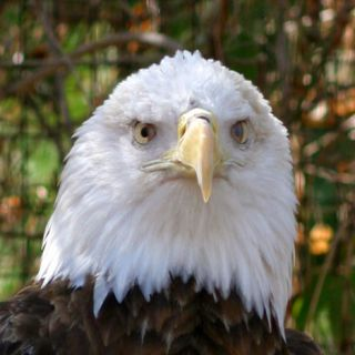Bald Eagle, head shot
