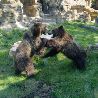 Grizzly bear Huck (left) Finley (right) Credit: Ray Meibaum Saint Louis Zoo