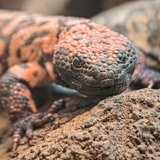 Gila-Monster--Sheinfield-3