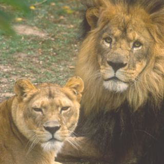 Female (left) and male African lions