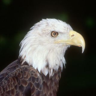 Bald Eagle, upclose