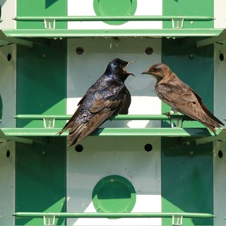 Purple Martin (Male and Female) 3 Christopher Carter