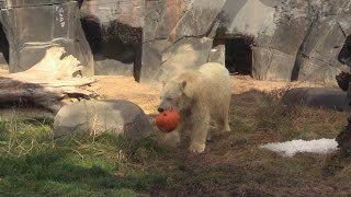 Polar bear and hippos with pumpkins