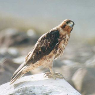 Galapagos Islands hawk