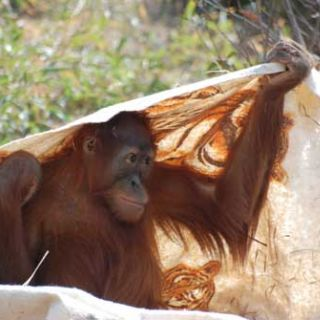 Orangutan hides under a blanket