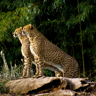 Cheetahs Shanto (closest) and Sabi (farthest)001