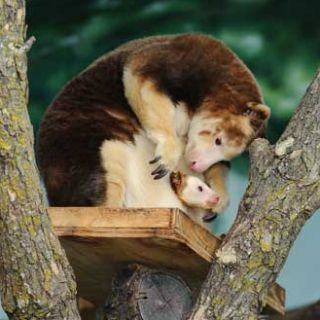 Tree kangaroo joey in mom's pouch