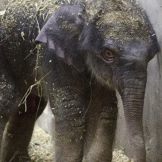 Asian-elephant-calf -JOSH-SYDNEY-SMITH