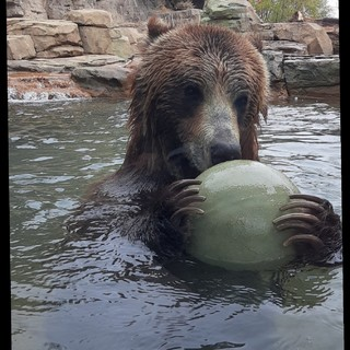 Grizzly enrichment