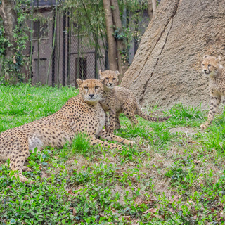 Cheetah cubs in public habitat April 26, 2018