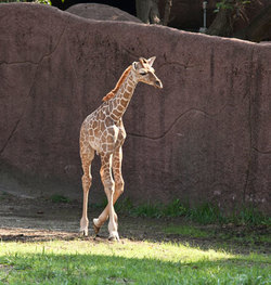 Baby giraffe at two weeks old. 2010