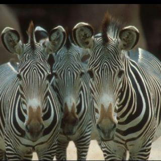 Three Grevy's zebra