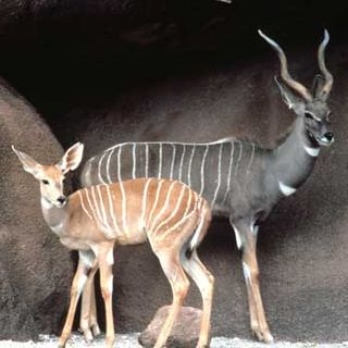 Lesser kudus, female (in front) and male