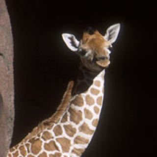 One-day-old reticulated giraffe calf